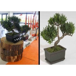 Location bonsai osaka dans pot