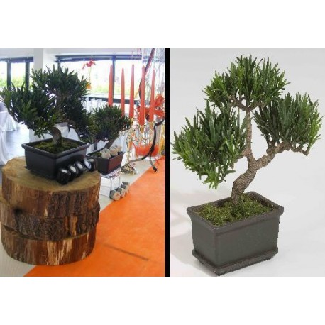 Location bonsai en pot
